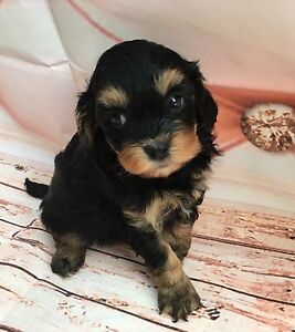 Adorable toy cavoodle puppies Morisset Lake Macquarie Area Preview