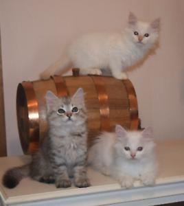 Ragdoll/ Chinchilla/ Bengal/DSH Kittens