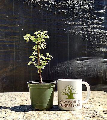(Bonsai Tree, Chinese Elm, Ulmus parvifolia, Live Tree! Starter Tree)