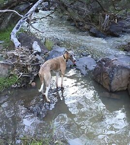 Whippet for sale Tenterfield Tenterfield Area Preview