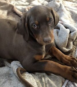 Doberman Pups  For Sale !