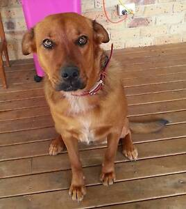 Dog for sale Narangba Caboolture Area Preview