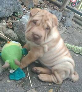 Shar Pei Puppy Last Left Br Ready For Her Forever Home 1 Brush Coat Red She 39 S A Lovely Little