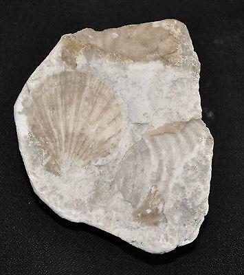 Pectinidae Cluster iin Chalk Marl
