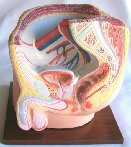 Human male pelvis pelvic cavity anatomical model medical anatomy teaching New