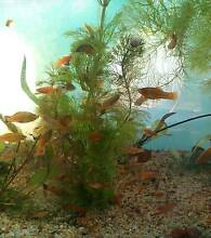 Assorted Platy and Swordtail For Sale Roselands Canterbury Area Preview