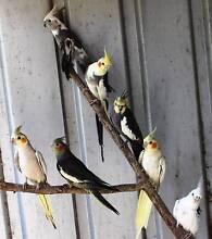 Cockatiels Fadden Tuggeranong Preview
