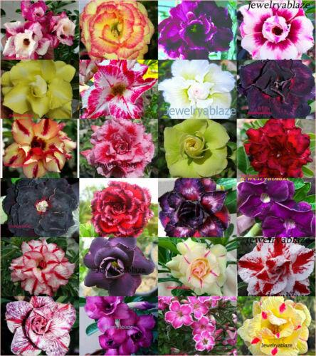 1000 Seeds Adenium Obesum Desert Rose Mixed Varieties Registered Track online