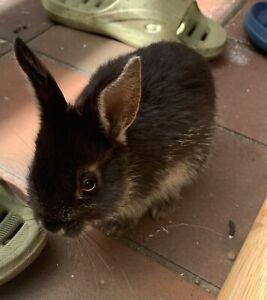 8 Weeks Old Mini Dwarf Baby Bunnies x2