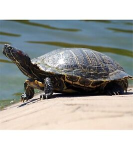 Looking for a turtle lover