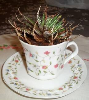 Succulent in a cup & saucer