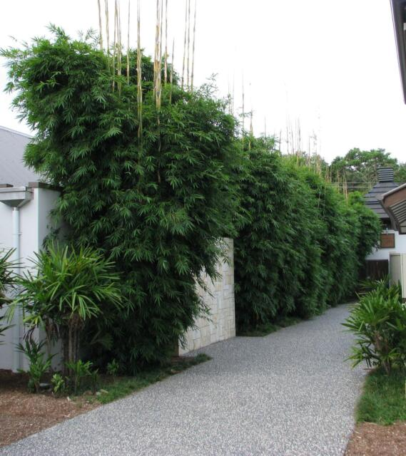 Clumping Bamboo Plants Various Species And Sizes Big