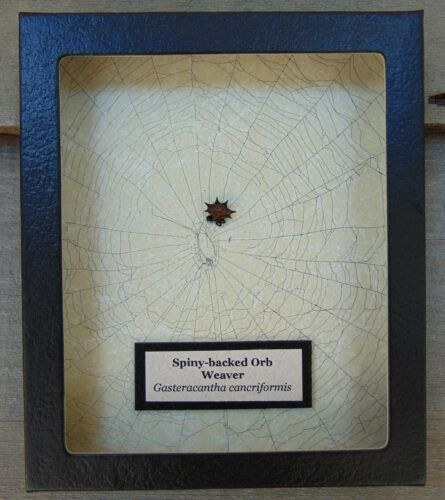 E507) Real Spiny-backed Orb Weaver Spider on actual Web 5X6 framed taxidermy USA