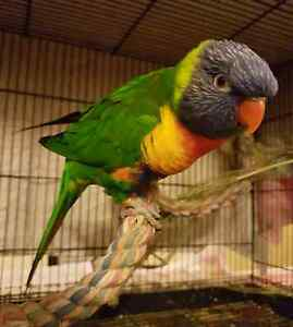 Found Adult Rainbow Lorikeet Greenwith Tea Tree Gully Area Preview