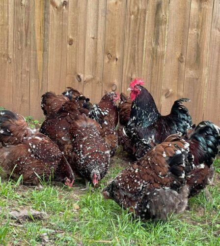 12 English Jubilee Orpington Hatching Eggs