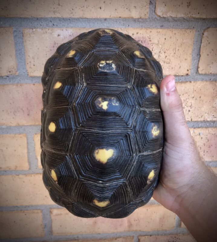 Red-footed Tortoise Shell, Reptile, Turtle Bones, 100% Natural Bone