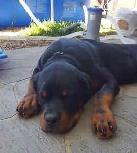 Purebred 8 month old Rottweiler Maida Vale Kalamunda Area Preview