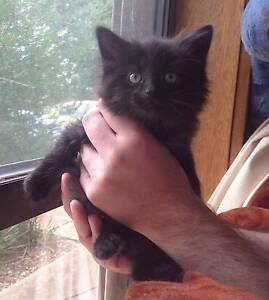 Gorgeous fluffy black male kitten, 9 weeks old Gawler East Gawler Area Preview