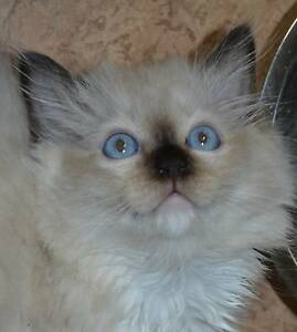 Ragdoll Adorable Pure Bred Kittens Reg Ready NOW REDUCED $500 Murrumba Downs Pine Rivers Area Preview
