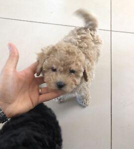 Superbe petit Caniche miniature (Pension Puppy Love)