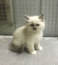 Pedigree Ragdoll kittens Carmel Kalamunda Area Preview
