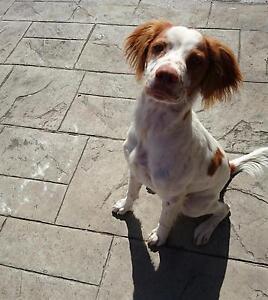 Brittany Spaniel pup Craigieburn Hume Area Preview