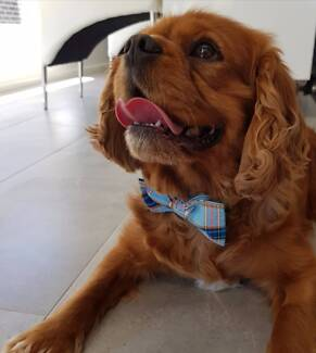 Adult Male Cavalier King Charles Spaniel