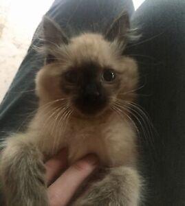Purebred Himalayan Kitten   Male   Chocolate Point   12 Weeks