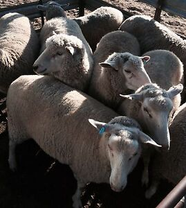 Young XB Ewes joined to White Suffolk Bunglegumbie Dubbo Area Preview