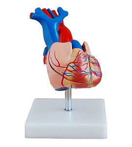Human Anatomical Heart Model - 2 Parts - Life Size Medical Anatomy