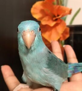 ❤️⭐❤️Parrotlet⭐Babies Available with Cage❤️⭐❤️