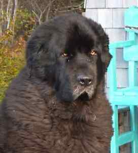 Rehoming Your Newfoundland Dog? We Need A Buddy for Our Newfie