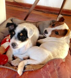 Pure Bred Jack Russell Puppies