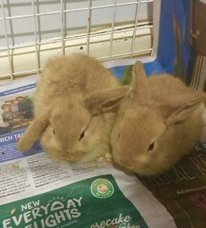 I have two baby bunny, very lovely, just 5 weeks old $50 both