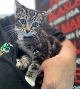 Rescue Female Kitten