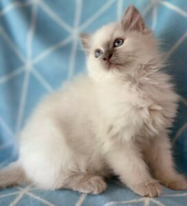 PEDIGREE RAGDOLL KITTEN - REGISTERED BREEDER