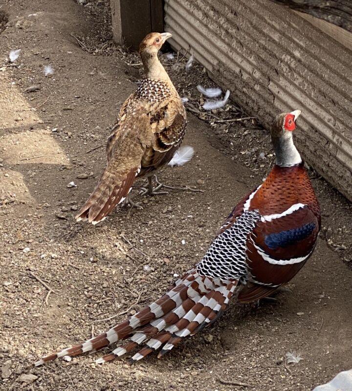 **LAYING NOW** 4 Elliot Pheasant Hatching Eggs