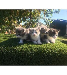 Russian Blue/White X Kittens