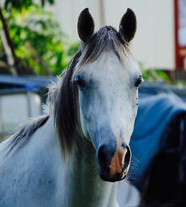 Arab mare Bellbird Park Ipswich City Preview