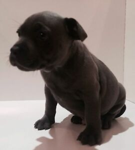 Blue Staffordshire Bull Terrier puppies Greenvale Hume Area Preview
