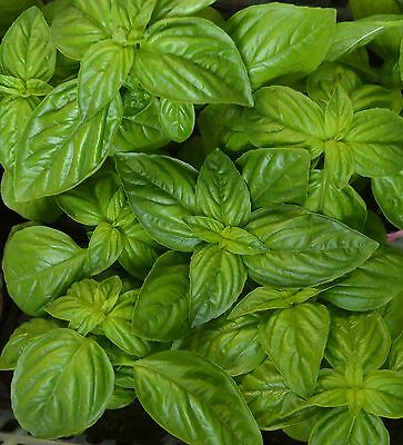 Genovese Basil Herb Seeds, NON-GMO, Heirloom, Variety Sizes, FREE SHIPPING (Genovese Basil Seeds)