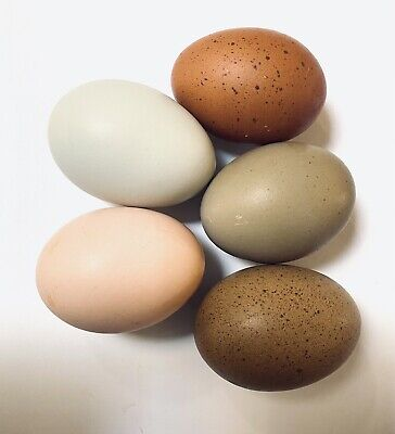 Hatching Eggs- Color Your Egg Game Copper Marans Olive Eggers Ameracauna Etc.