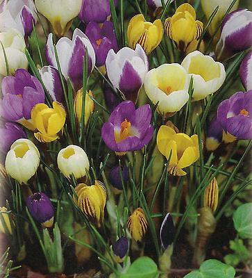 100 oder 200 Botanische gemischte Krokusse Krokus Blumenzwiebeln Lieferbar 1.9.