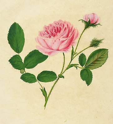 ROSEN - Moosrose - Rosa muscosa - Roessig - gouachierter Kupferstich 1802