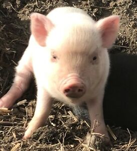Mini pigs ready to go 1 male 2 females left !!