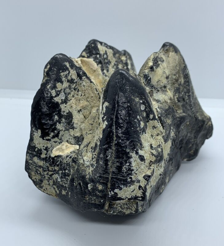FOSSIL MASTODON TOOTH RIVER TEETH ICE AGE rock fossilized WEIGHS OVER 1 POUND!!!