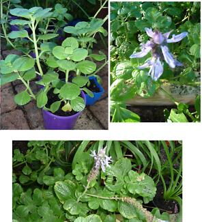 Dogbane advanced plants for sale – waterwise perennial Subiaco Subiaco Area Preview