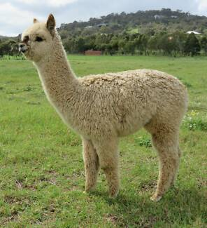 Cute Young Alpaca for sale Mundaring Area Preview