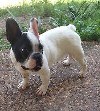 French bulldog puppy Munruben Logan Area Preview