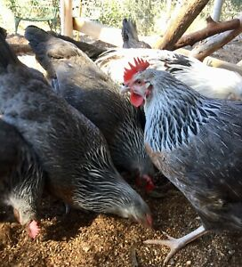 SILVER DORKINGS FERTILE CHICKEN EGGS Bowral Bowral Area Preview